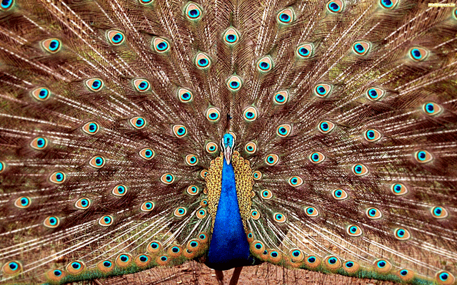 Peacock_of_india-1920x1200